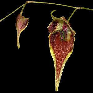 Lepanthes cloesii