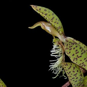 Catasetum barbatum
