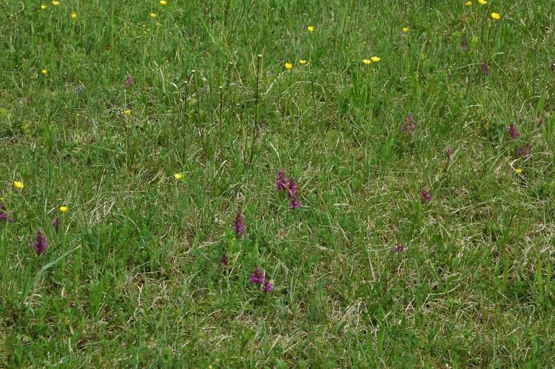 1, 2017-05-12 Orchideenwiese - Kopie.JPG