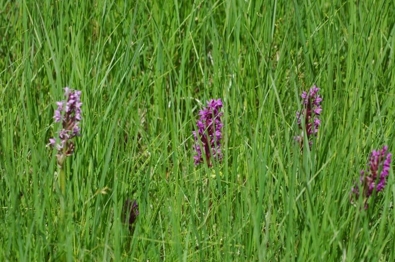 1-2018-05-26 Orchideenwiese 35 - Kopie.JPG