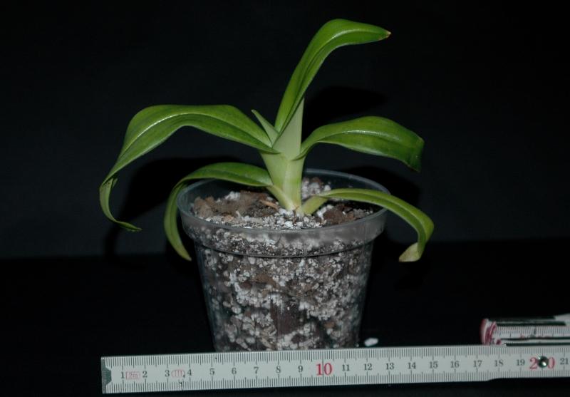 2.1.2017 Phragmipedium kovachii 2 - Kopie.JPG