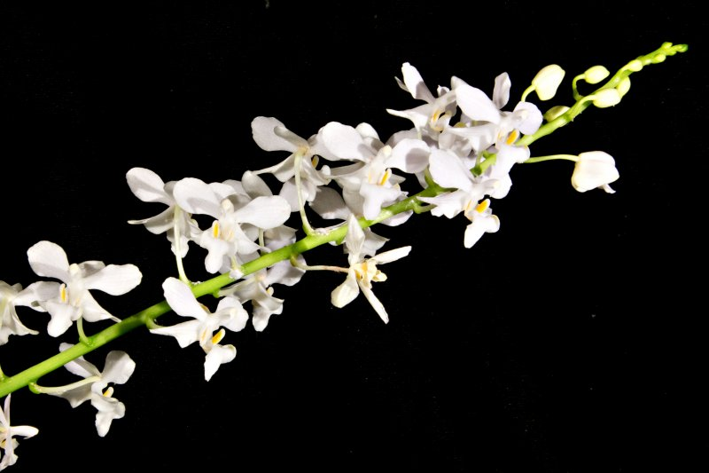 2016-07-28 Doritis pulcherrima champornensis alba orchids-shop.eu.jpg