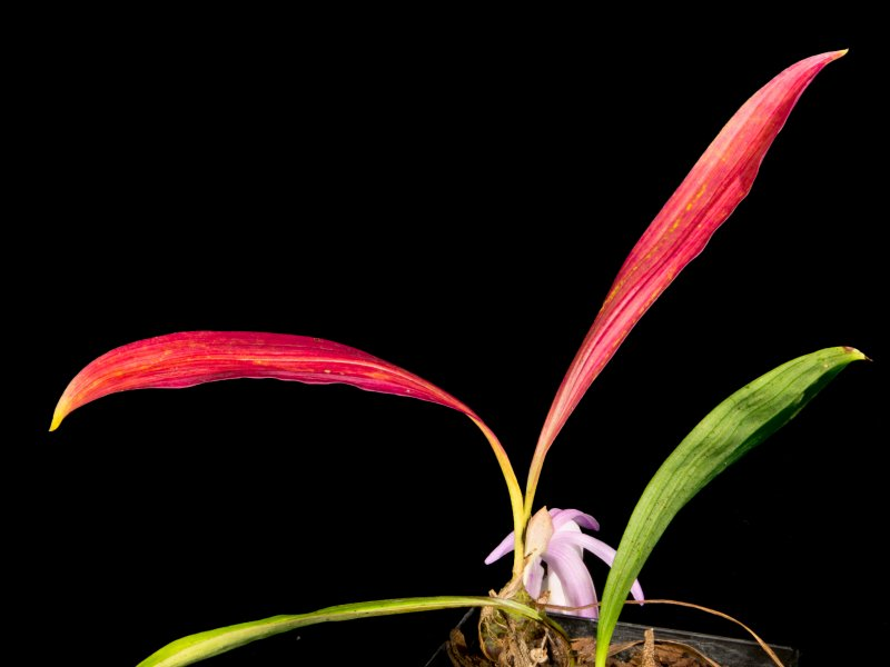 2016-10-09 Pleione praecox koolplants Laub.jpg