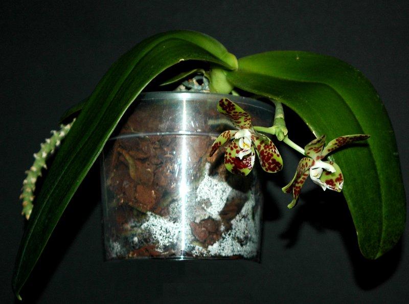2017-02-07 Phalaenopsis doweryensis Habitus.JPG