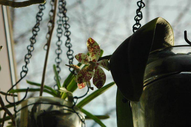 2017-02-07 Phalaenopsis doweryensis.JPG