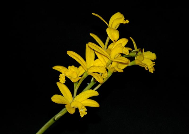 2017-03-18 Cattleya crispata(syn Laelia flava) 6 - Kopie.JPG