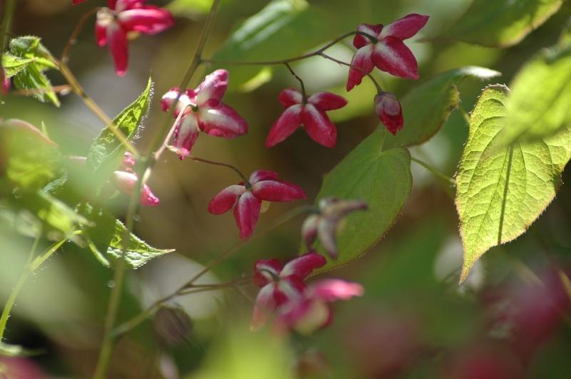 2017-04-14 Elfenblume (Epimedium x rubrum) 22 - Kopie.JPG