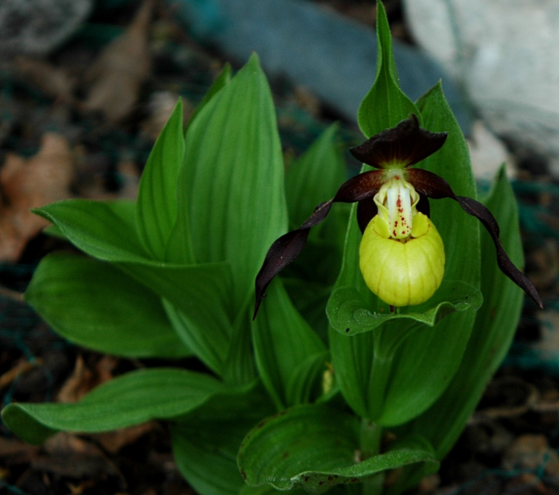 2017-05-14 Cypripedium calceolus 7 - Kopie.JPG