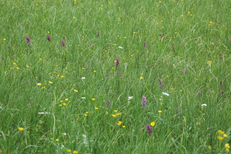2017-05-18 Dactylorhiza Habitat 2 - Kopie.JPG
