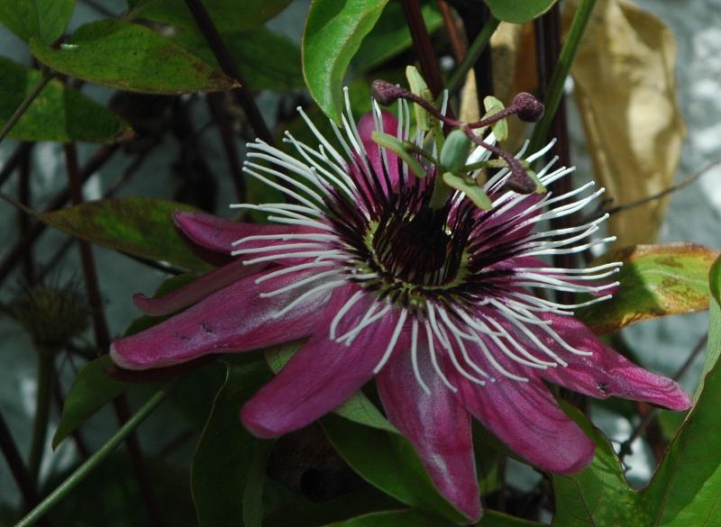 2017-07-11 Passiflora violacea 4 - Kopie.JPG