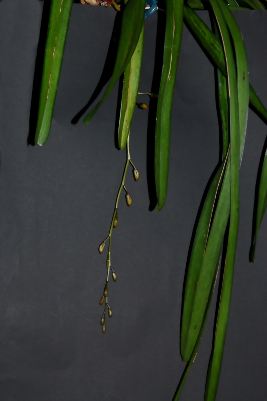2017-07-20 Cymbidium finlaysonianum 8 - Kopie.JPG