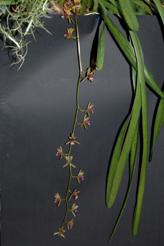 2017-07-24 Cymbidium finlaysonianum 4 - Kopie.JPG