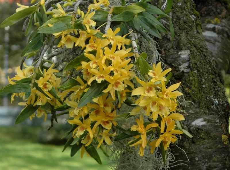2017-08-05 Dendrobium Stardust 2 - Kopie.JPG