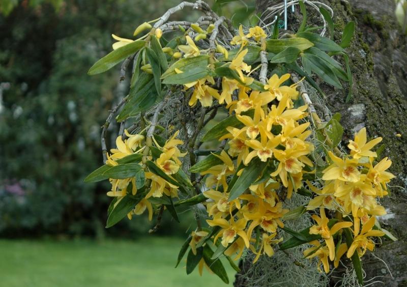 2017-08-05 Dendrobium Stardust 4 - Kopie.JPG