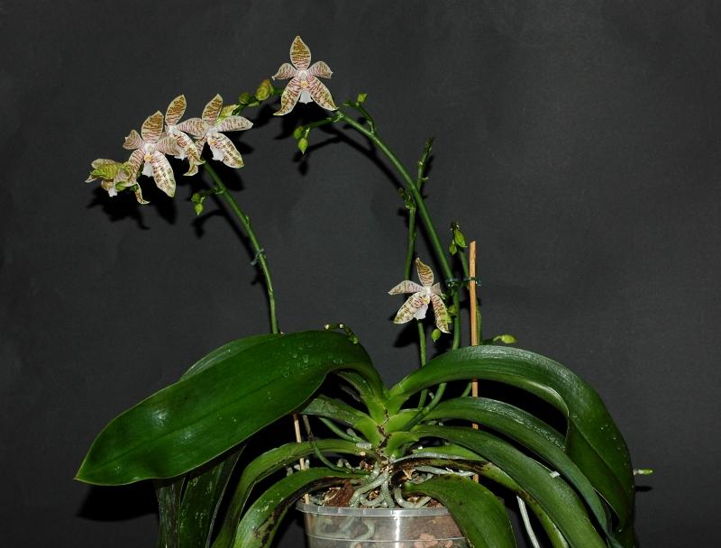 2017-08-11 Phalaenopsis hieroglyphica 10 - Kopie.JPG