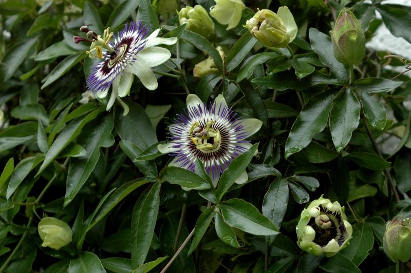 2017-09-11 Passiflora caerulea2 - Kopie.JPG