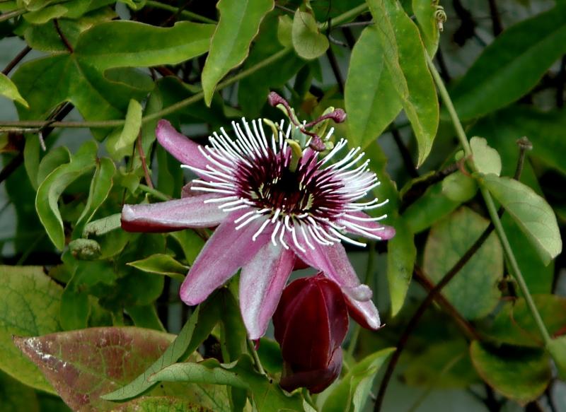 2017-09-11 Passiflora violacea2 - Kopie.JPG
