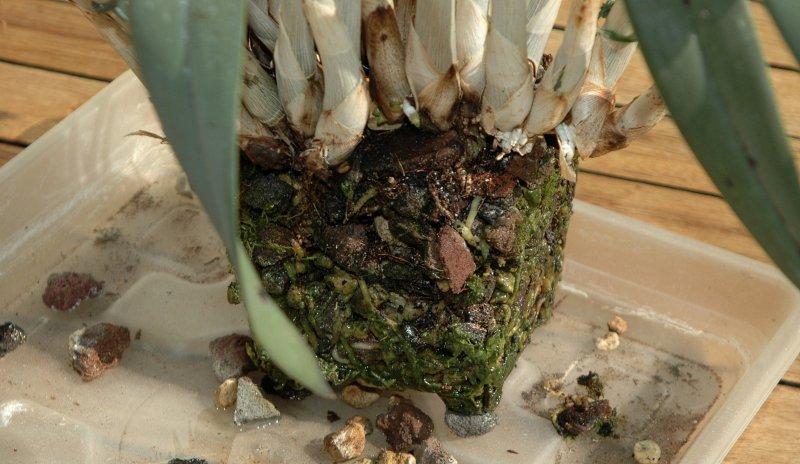 2017-09-23 Umtopfaktion Cattleya cinnabarina 10 - Kopie.JPG