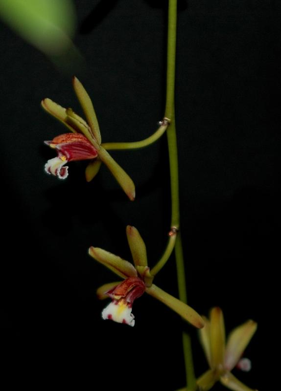 2017-09-24 Cymbidium finlaysonianum 11 - Kopie.JPG