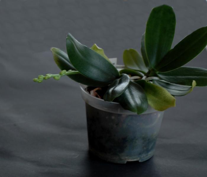 2017-1-17 Phalaenopsis(syn. Sedirea) japonica - Kopie.JPG