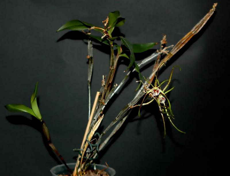 2017-10-27 Dendrobium tetragonum subsp. giganteum 15 - Kopie.JPG