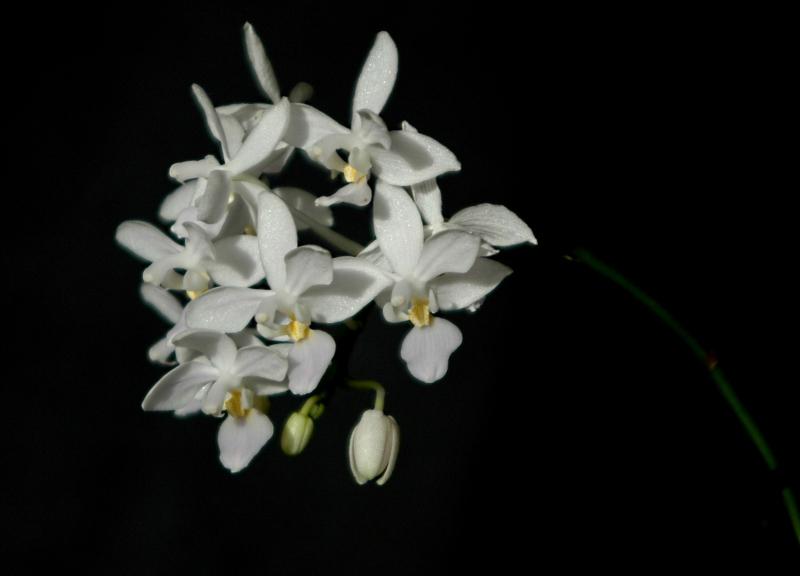2017-10-27 Phalaenopsis equestris alba 5 - Kopie.JPG
