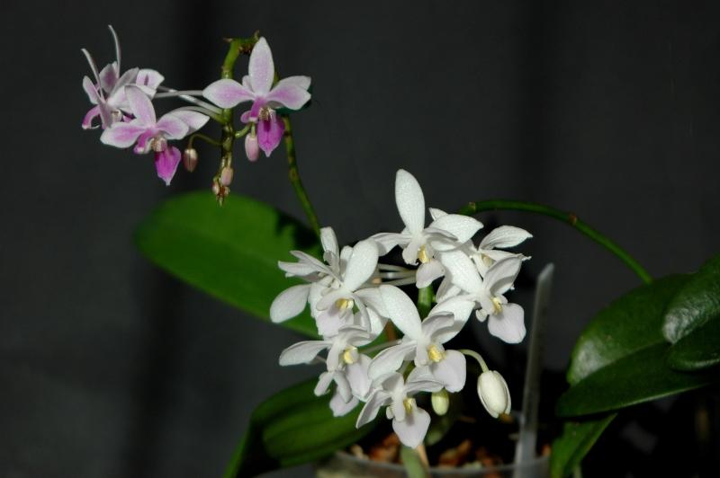 2017-10-27 Phalaenopsis equestris + Phalaenopsis equestris alba 1 - Kopie.JPG