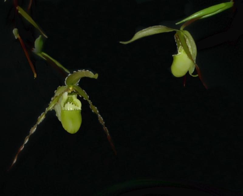 2017-10-27 Phragmipedium richteri 3 - Kopie.JPG
