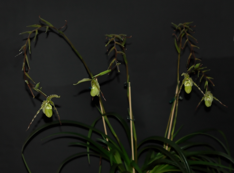 2017-10-27 Phragmipedium richteri 5 - Kopie.JPG