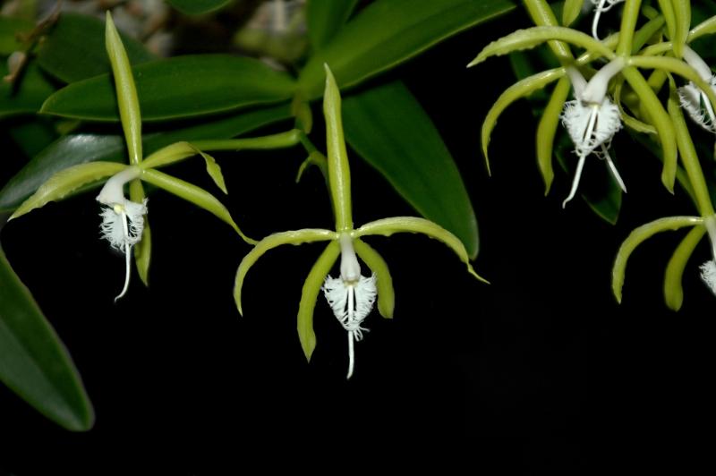 2017-11-01 Epidendrum ciliare 15 - Kopie.JPG