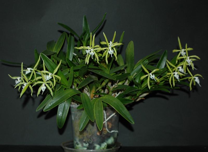 2017-11-01 Epidendrum ciliare 8 - Kopie.JPG