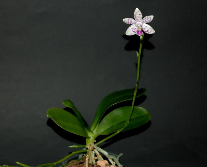 2018-01-01 Phalaenopsis lueddemaniana 18 - Kopie.JPG