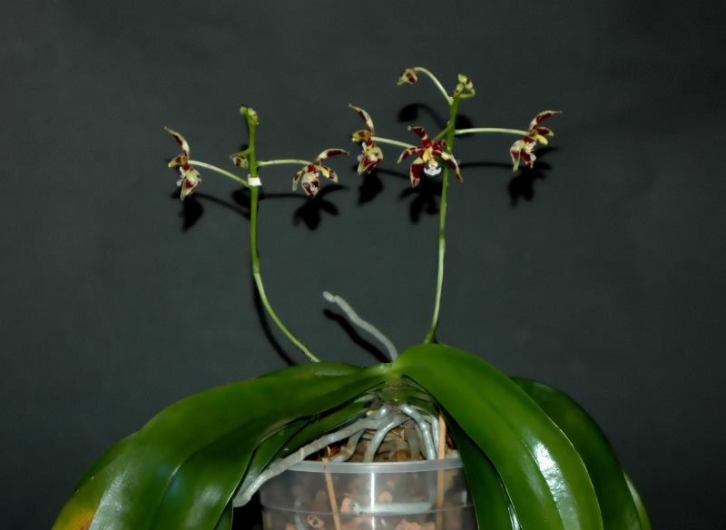 2018-01-01 Phalaenopsis mannii 'Mahagoni' 5 - Kopie.JPG