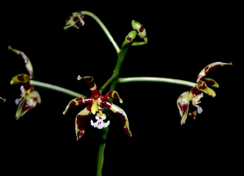 2018-01-01 Phalaenopsis mannii 'Mahagoni'8 - Kopie.JPG