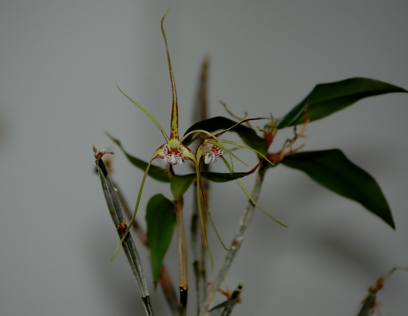 2018-01-03 Dendrobium tetragonum subsp. giganteum9.JPG