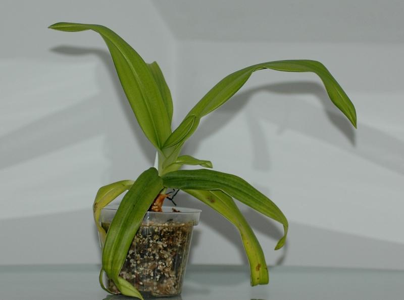 2018-02-04 Phragmipedium kovachii 11 - Kopie.JPG