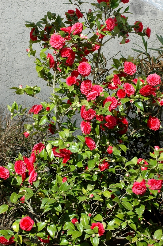 2018-03-25 Camellia japonica 1 - Kopie.JPG