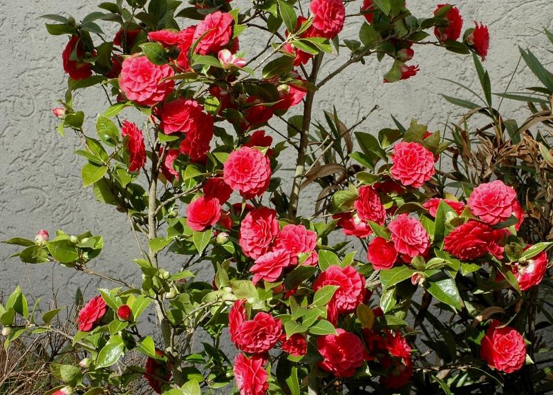 2018-03-25 Camellia japonica 3 - Kopie.JPG