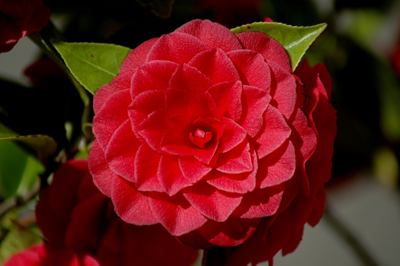 2018-03-25 Camellia japonica 5 - Kopie.JPG