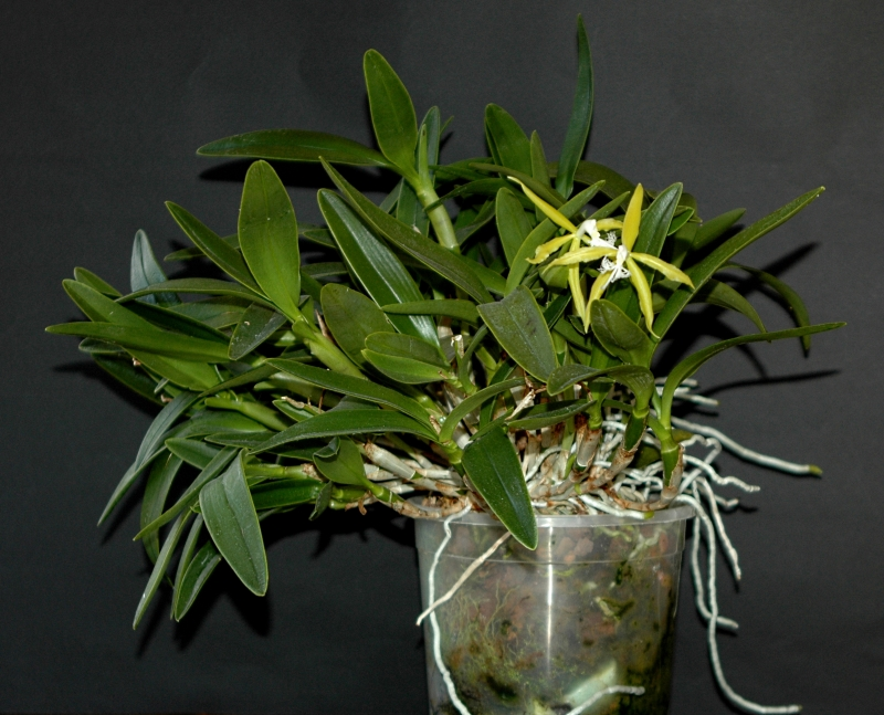 2018-04-05 Epidendrum ciliare 10 - Kopie.JPG