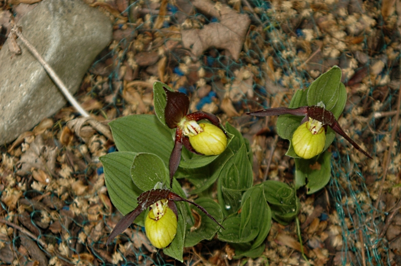 2018-05-03 Cypripedium calceolus 01 - Kopie.JPG
