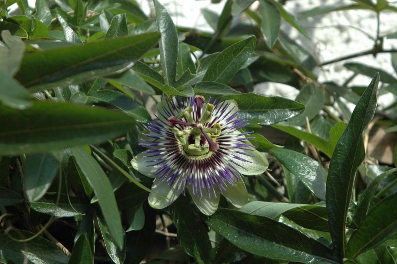 2018-05-12 Passiflora caerulea 6 - Kopie.JPG