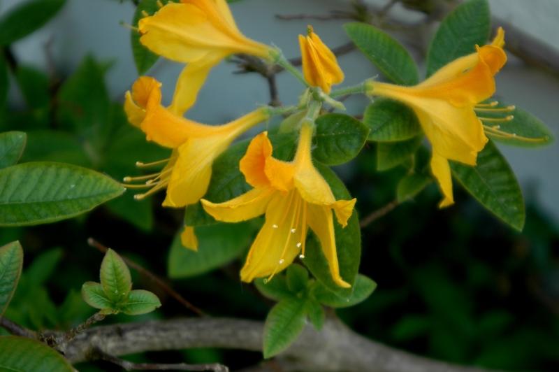 2018-05-12 Rhododendron 11 - Kopie.JPG