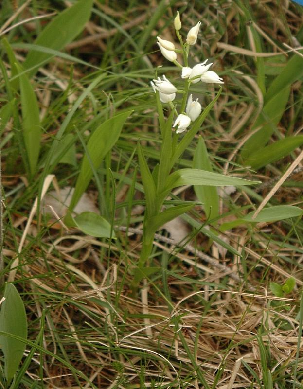 2018-05-28 Cephalanthera longifolia 29 - Kopie.JPG