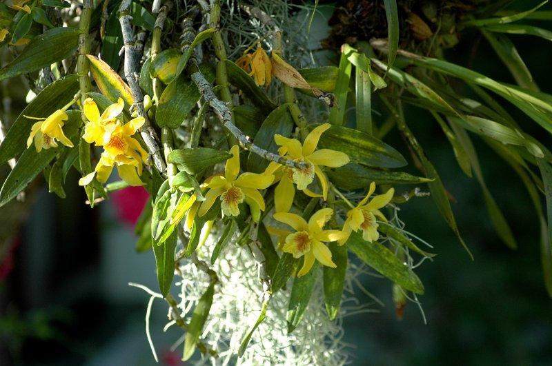 2018-06-20 Dendrobium Stardust 3.JPG