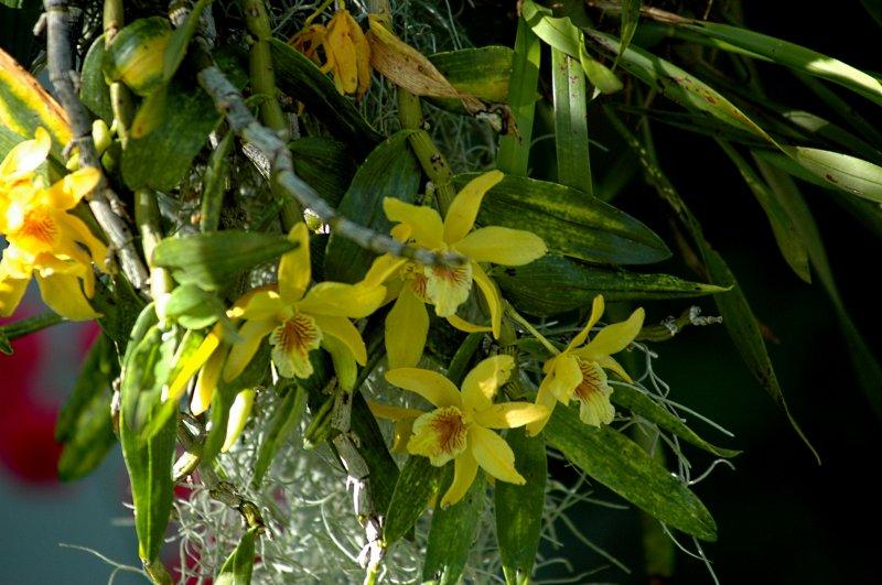 2018-06-20 Dendrobium Stardust 4.JPG