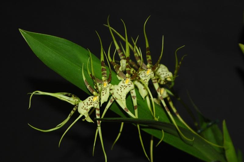 2018-06-28 Brassia Rex 26 - Kopie.JPG