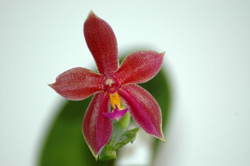 2018-07-09 Phalaenopsis Spirit of Borneo (Phal. pantherina x Phal. bellina) 2 - Kopie.JPG