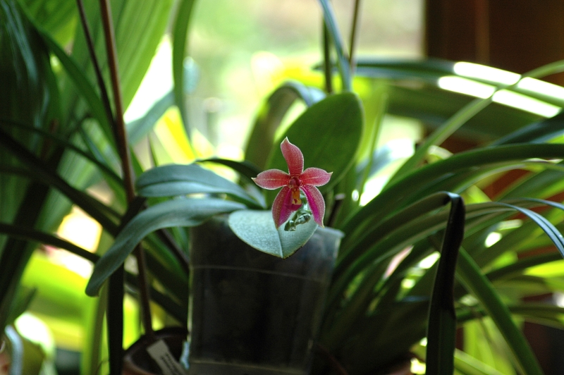 2018-07-09 Phalaenopsis Spirit of Borneo (Phal. pantherina x Phal. bellina) 5 - Kopie.JPG