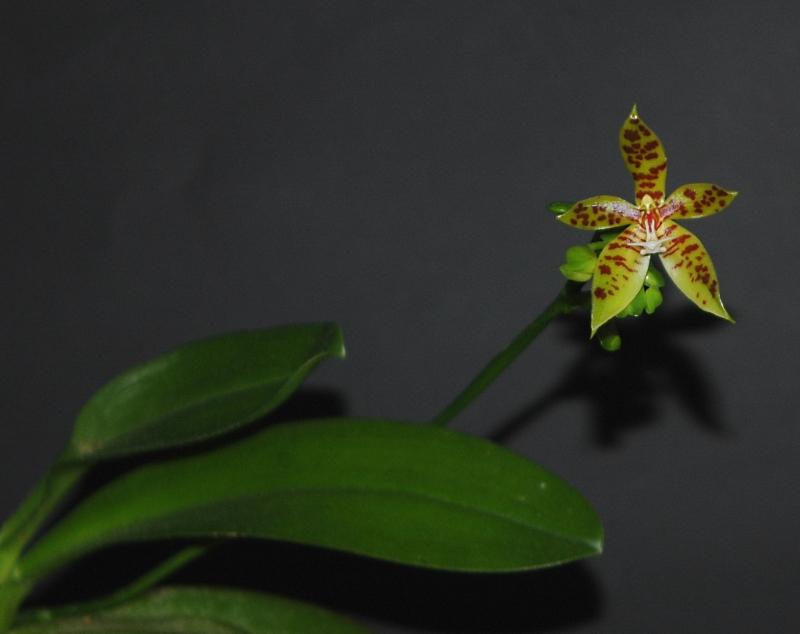 2018-07-21 Phalaenopsis sp. aff. Polychilos 18 - Kopie.JPG